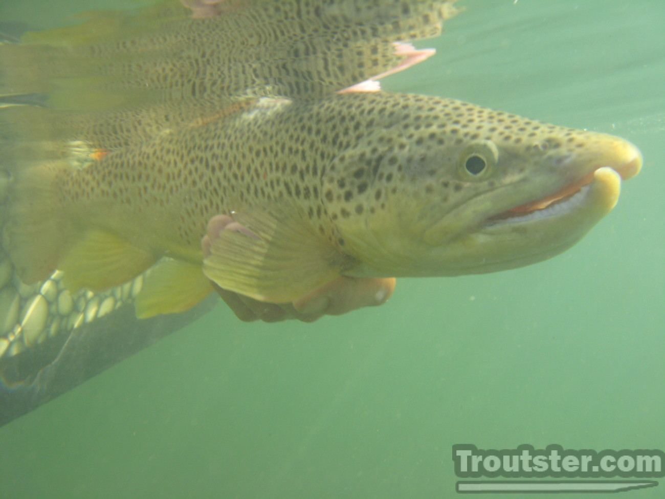 Brown trout with a large kype