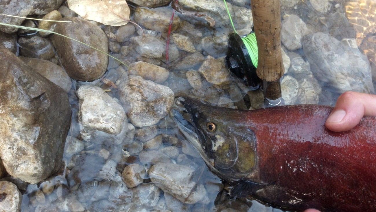 A male sockeye salmon in bright red spawning coloration
