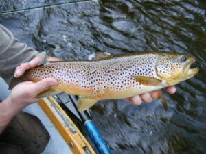 Catching brown trout in michigan