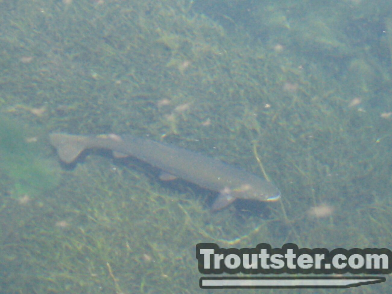 brown trout spawning, brown trout migration, brown trout breeding
