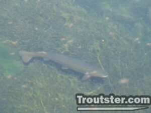 Spawning Brown Trout