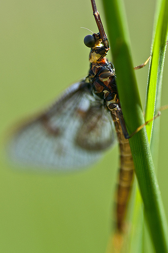 Mayfly, mayflies are a favorite trout food