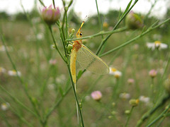Mayfly on grass for brown trout fly fishing.