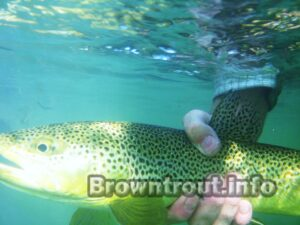 Brown trout facts: The brown trout eats 90% of its food under the surface of the water.