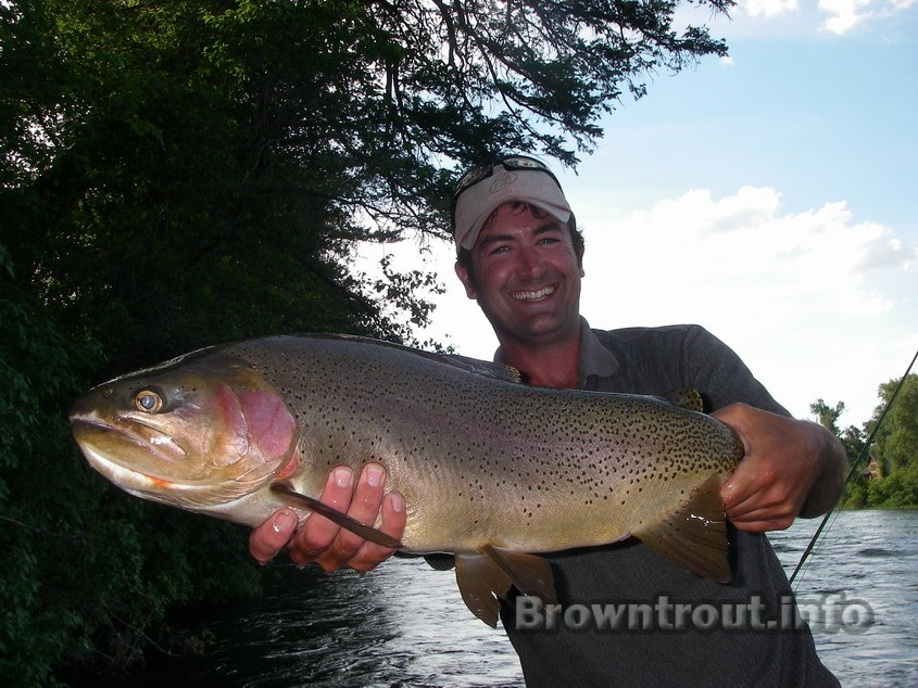 A cutbow, or a rainbow cutthroat hybrid on the south fork of the snake river in Idaho.