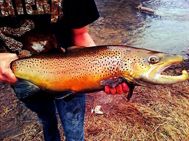 Jake Bowles With a Very Colorful Brown Trout