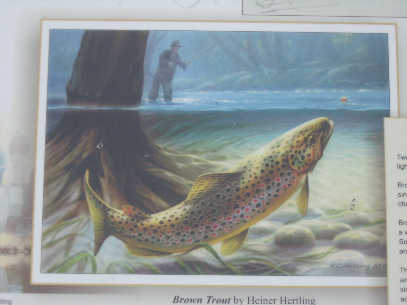 A nice painting of a brown trout that is on a sign at the Pere Marquette rail trail in Baldwin MI.