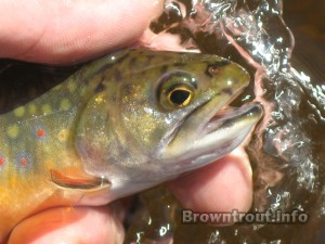 Brook trout facts and Information
