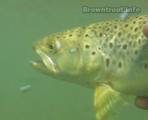 Brown trout underwater