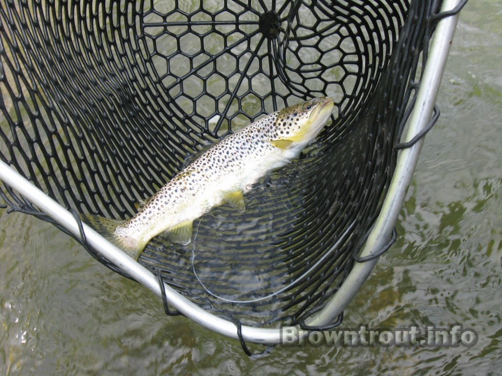 Brown trout in net with radio telemetry tag in place.