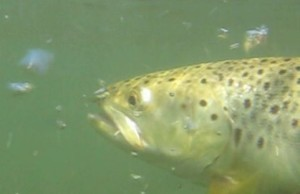 underwater brown trout picture
