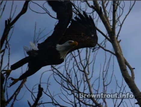 Eagle Flying on the side of the rver, trout fishing fall of 2013