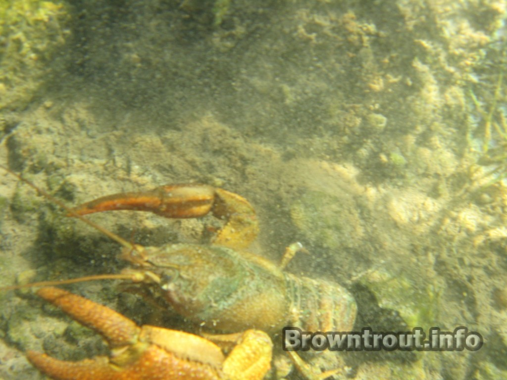 A large crayfish in a trout stream, Idaho