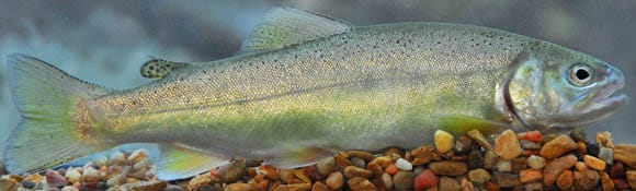 Gila trout photo