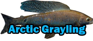 Arctic Grayling Identification, arctic grayling fish, arctic grayling facts, arctic grayling trout, what is arctic grayling