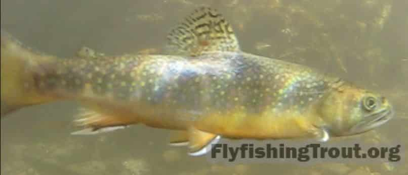 Spawning brook trout underwater.
