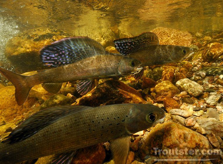 Arctic Grayling swimming in a freestone river