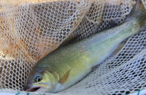 An example of a great trout net