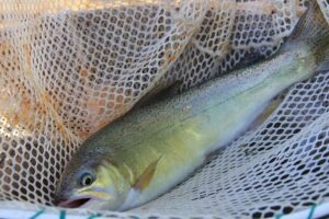 An example of a great trout net, Gila trout photos, gila trout identification, gila trout fishing, gila trout pictures