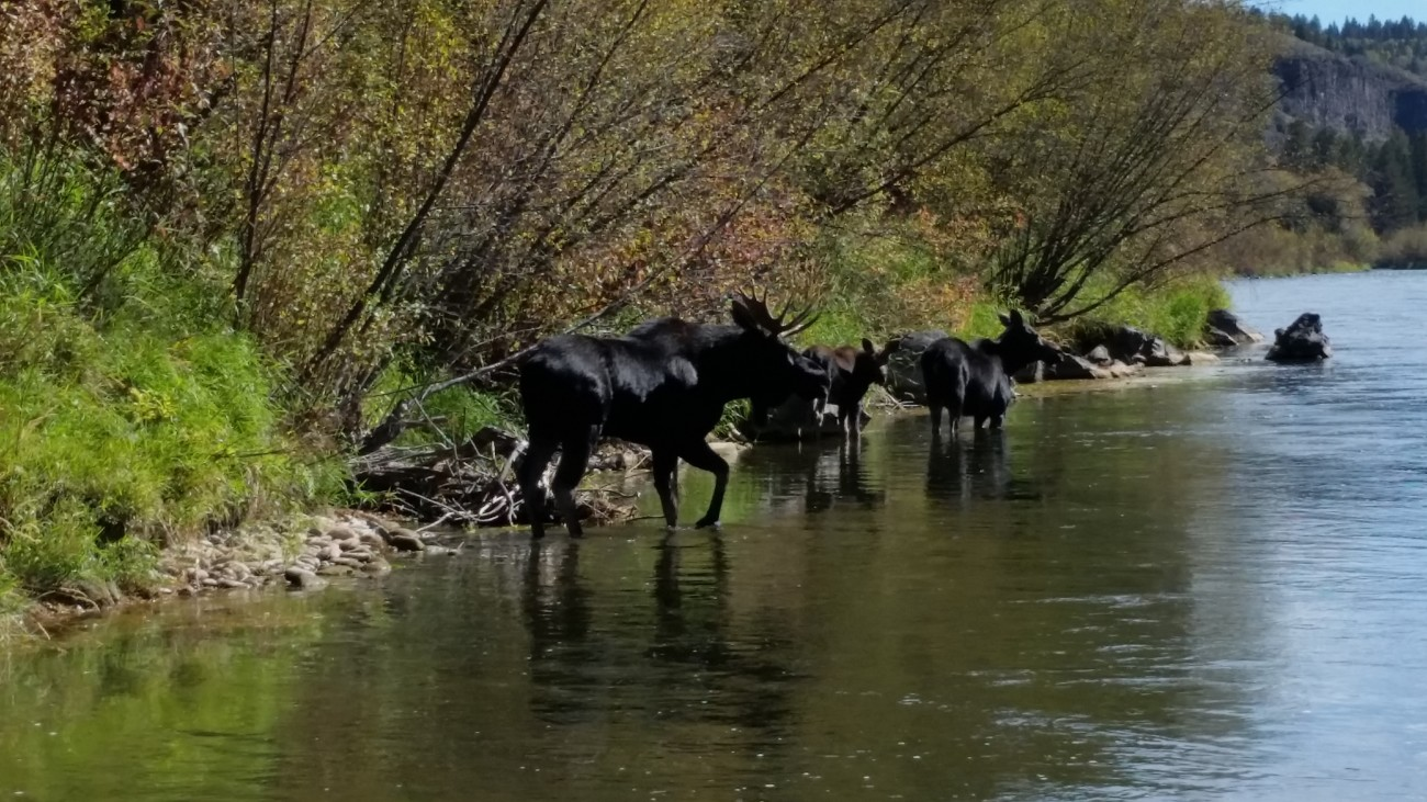 3 moose standing in the river eating seaweed in Idaho