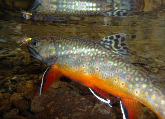 A big colorful brook trout caught on a dry fly