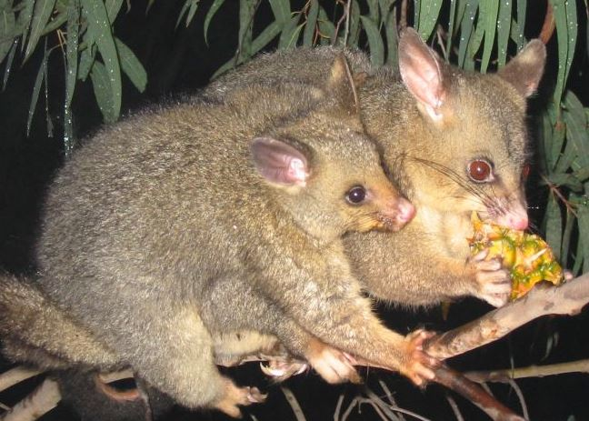 The common brushtail possum of AU. The fur of this animal makes great nymph dubbing. Image by: Peter Firminger