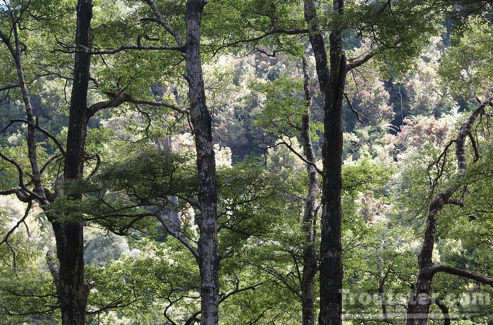 Beech tree forest with high mass causing an increase in mouse population