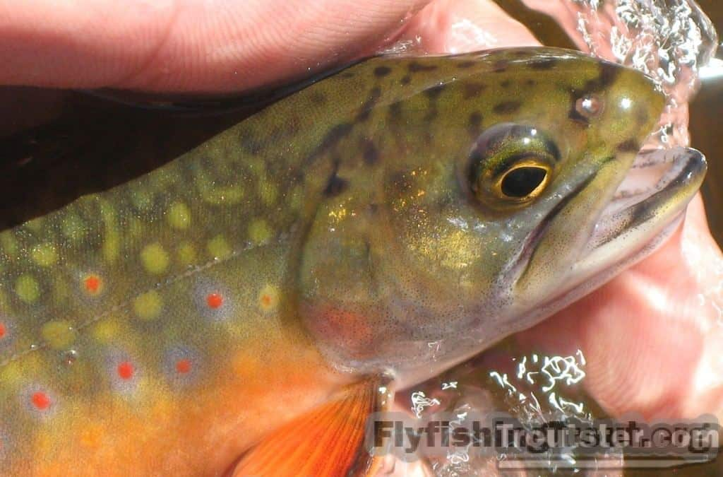 General Brook trout Facts and Spawning and Breeding Habits, brook trout images, brook trout pictures, baby brook trout, big brook trout, brook trout pattern