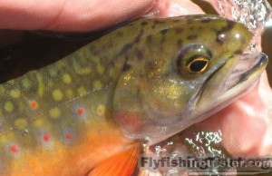 Brook trout vs brown trout