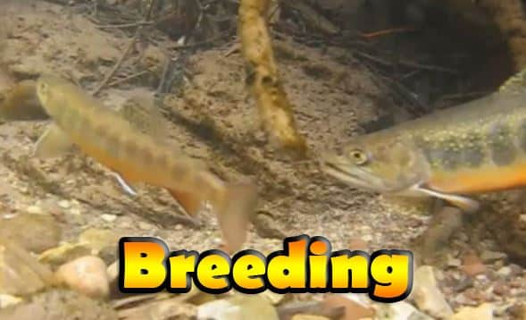 Brook trout spawning
