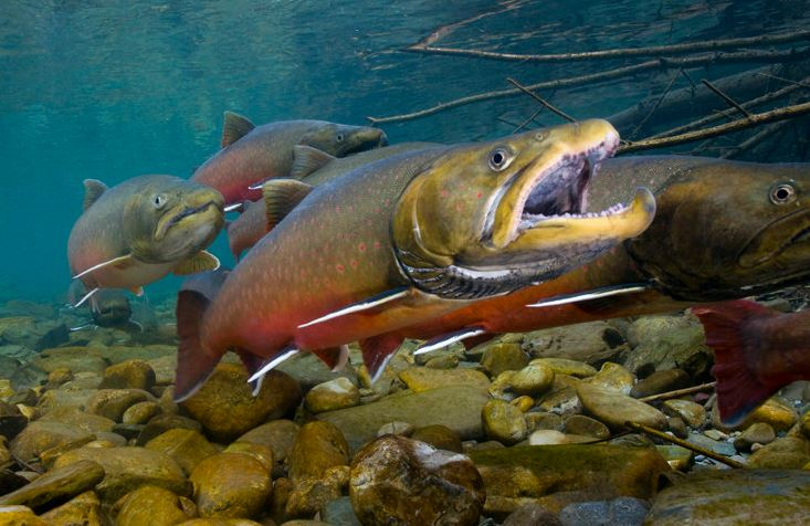 Bull Trout, bull trout indentification, what is a bull trout, what do bull trout eat, are bull trout endangered