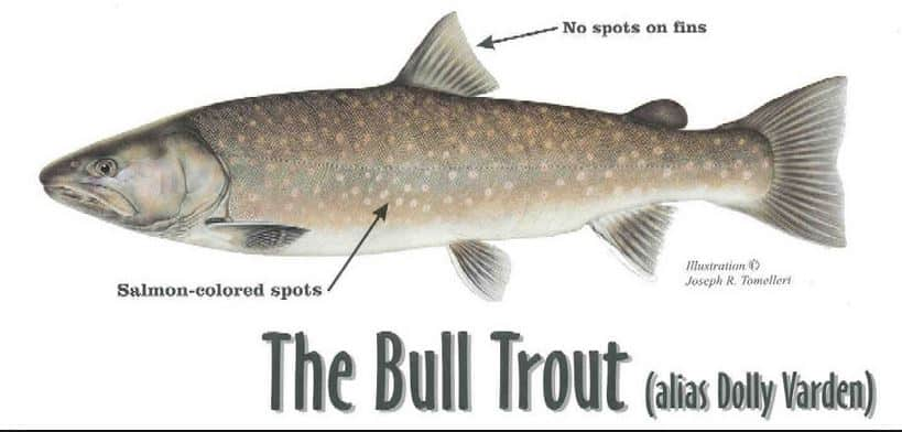 Bull trout ID, Bull Trout, bull trout indentification, what is a bull trout, what do bull trout eat, are bull trout endangered