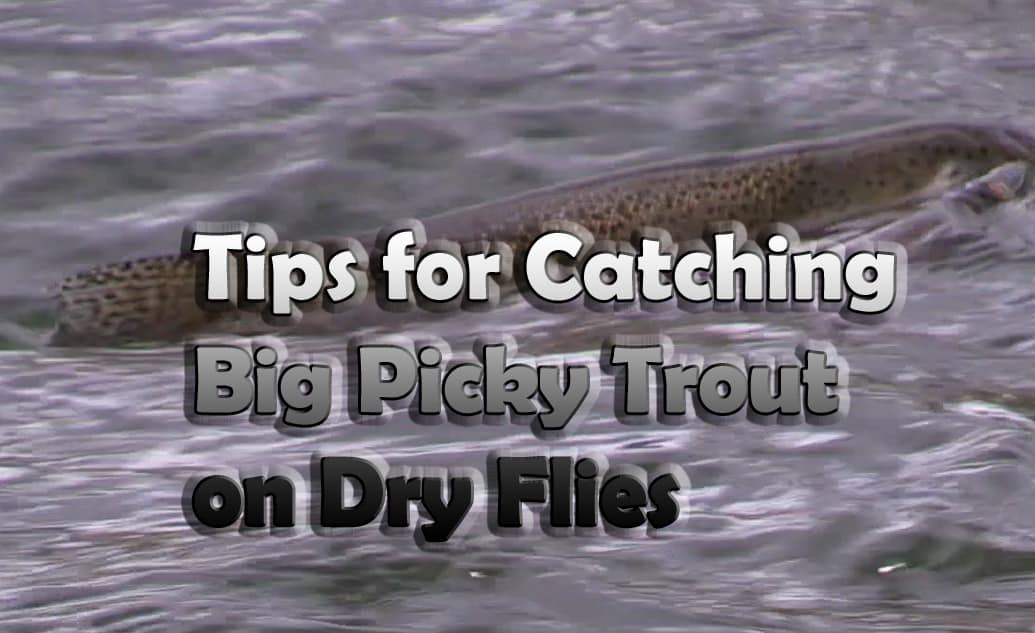 Catching big picky trout with dry flies