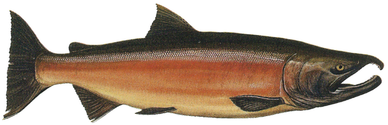 Coho salmon facts and life cycle for Salmon fish pictures