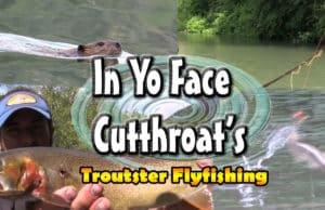 Cutthroat trout on dry flies up close video