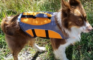 Dog wearing a life jacket on the river