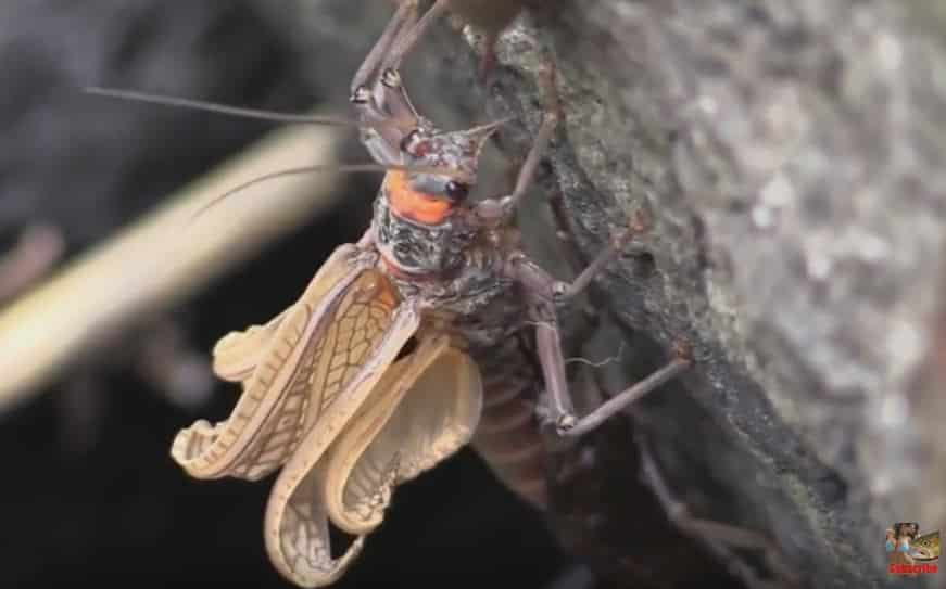 Salmonfly pops out of nymph casing