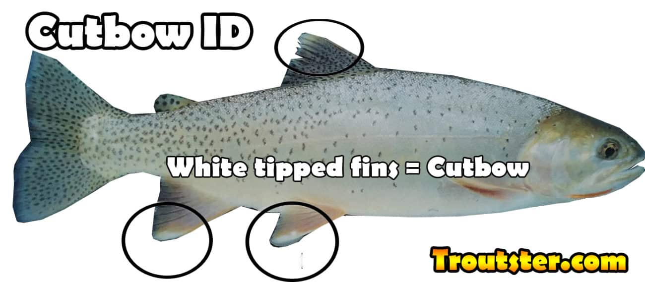 How to identify a cutbow trout, cutbow trout identification, cutbow trout pictures, cutbow fish, are cutbow trout sterile