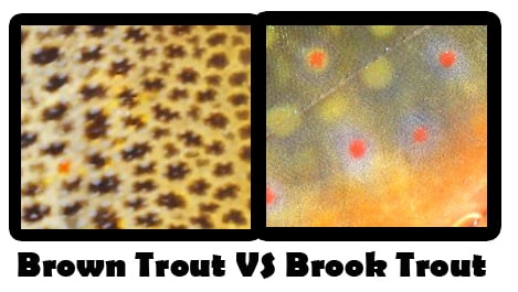 How to tell the difference between the brown trout and the brook trout, How to tell the difference between the brown trout and the brook trout, brook trout vs brown trout