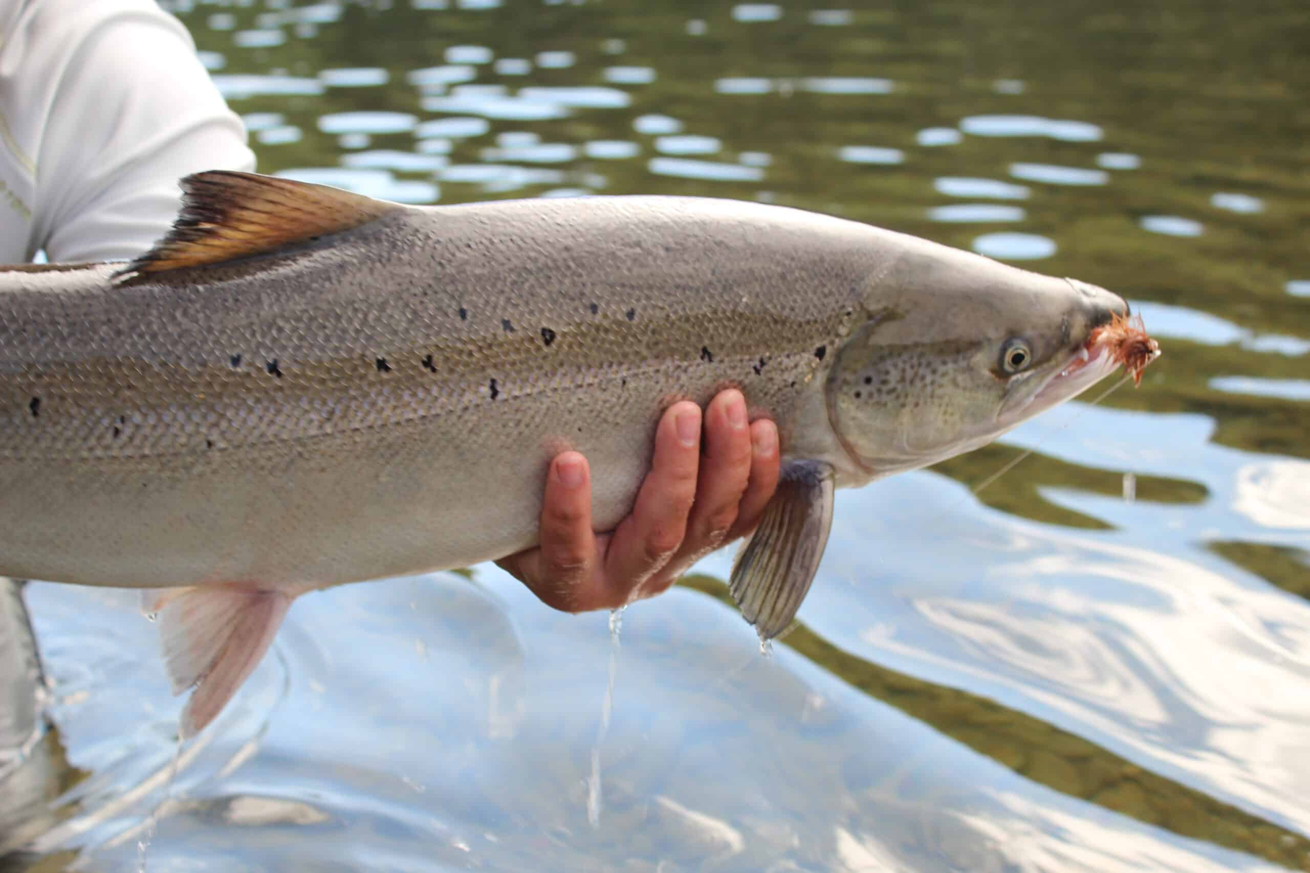 Atlantic Salmon with a dry fly in it's mouth, salmon species