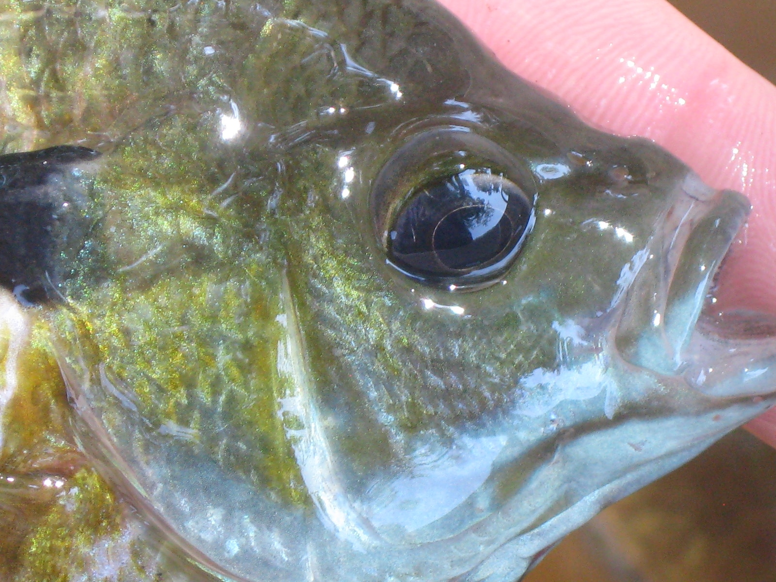 Flyfishing for the voracious bluegill