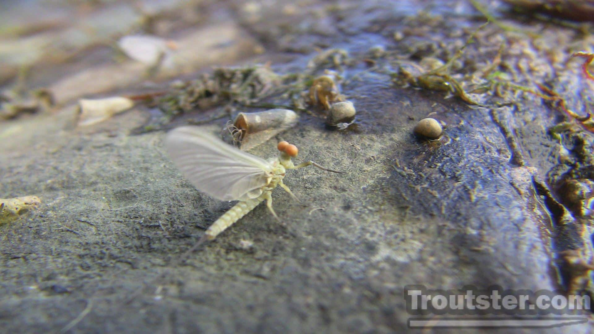 Mayflies make up a large part of the trout's diet. what do trout eat, what do trout like to eat, what do rainbow trout eat, what do lake trout eat, what do brown trout eat