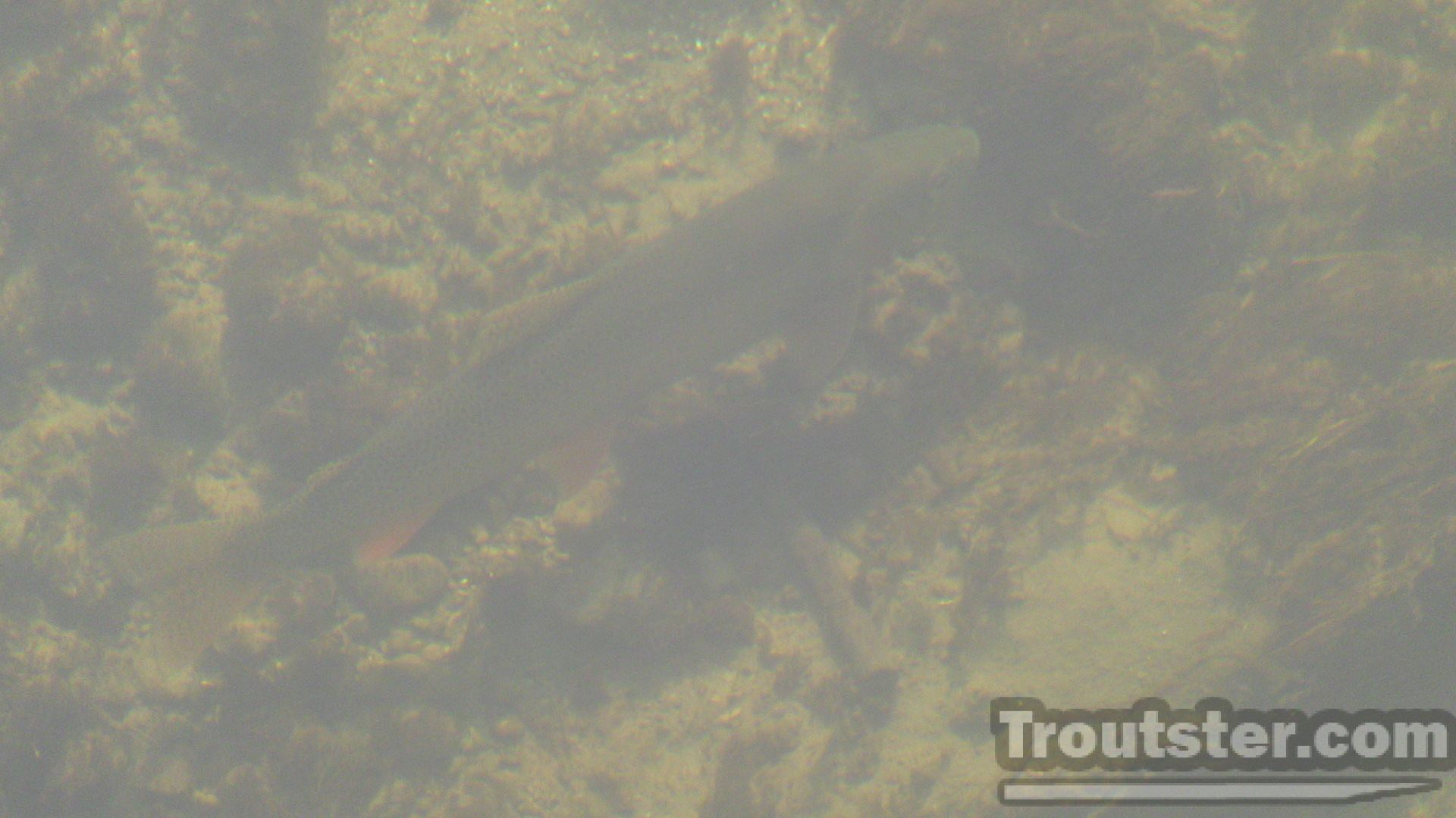 Tips to help you see fish. This cutthroat is well hidden, but you can see it's shadow easily.