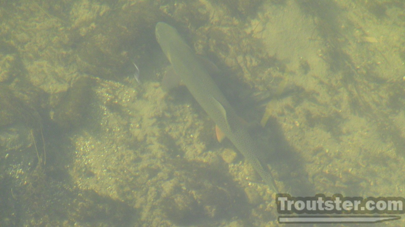 A big cutthroat swimming underwater, how to see fish in water, using glasses to see fish in water