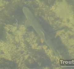 A big cutthroat swimming underwater.