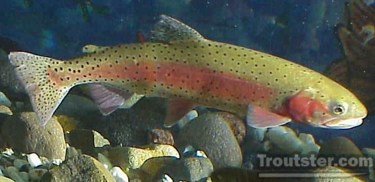 Lahontan species of cutthroat