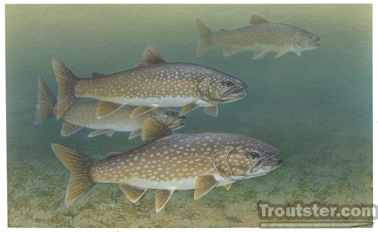 Lake trout school