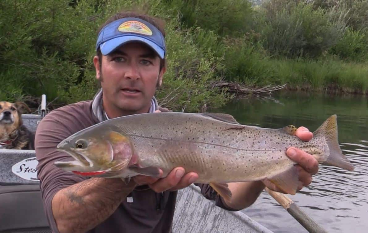 Massive cutbow trout on a dry fly