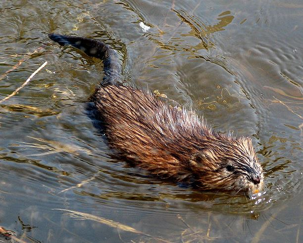 Muskrat - The fur from this species makes great dry fly dubbing