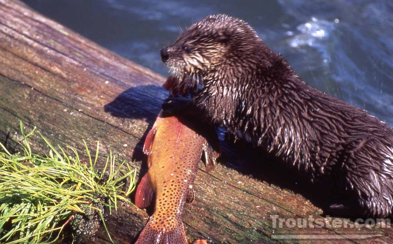 An otter eating a Yellowstone cuttroat trout